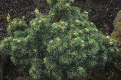 Pinus parviflora Tani Mano Uki, OR Garden 09-03.jPg 3,222×2,138 pixels