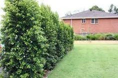Image result for tall evergreen plants for narrow garden in front of high fence