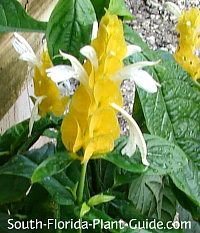 Flowering Perennials for South Florida Shrimp Plant (Pachystachys lutea)  Unique golden flower bracts and white blossoms for a part sun or part shade area. Blooms during warm months and grows 2 to 3 feet tall. Use behind shorter plants in a mixed bed or butterfly garden.