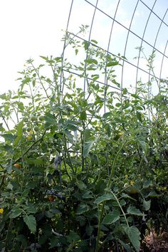 Durable cattle panels arched into an arbor tomato trellis shape from Homestead Honey
