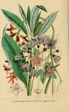 t.3 (1852-1853) - Belgique horticole. - Biodiversity Heritage Library