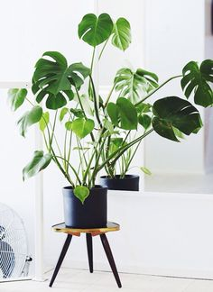 See more ideas about philodendron monstera, indoor palms and tropical house Monstera Deliciosa, Big Leaf Indoor Plant, Big Leaf Plants, Cool Indoor Plants, Indoor Palms, Ficus, Yucca, Plantas Indoor, Apartments