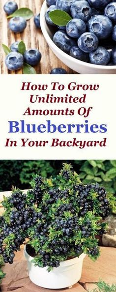 Most of you are familiar with the fact that blueberries are extremely beneficial for your body and health. They are the perfect substitute for the snack you need during the day. They are very tasty no matter in which state you are consuming them, raw, squeezed in your juice or smoothie, added in some delicious pie, they are plainly irresistible.