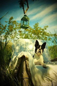 #Prada# the #Bostonterrier#
