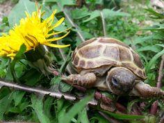 Salvia, my little Russian Tortoise (Testudo Horsfieldii)