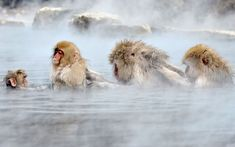Japanese macaques, commonly referred to as snow monkeys, bathe in an open-air hot spring at the Jigokudani (Hell's Valley) Monkey Park in Yamanouchi, Nagano prefecture, Japan Picture: KAZUHIRO NOGI/AFP/Getty Images Monkey Pictures, Animal Pictures, Primates, Photos Singe, Jigokudani Monkey Park, Japanese Macaque, Japan Picture, Animal Tracks, Spa Water