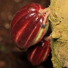 This is a cocoa pod!