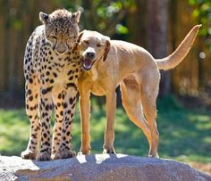 Kasi (cheetah) and Mtani (Lab Retriever) BFFs at Busch Gardens.   April 16 2012 marked the one-year anniversary of the first time park guests got to see an 8-week-old male cheetah cub and a 16-week-old female yellow Labrador puppy start to strike up a friendship that the park's animal experts expect to last a lifetime.