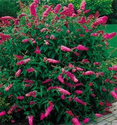 Butterfly bushes  are not only beautiful, hummingbirds love them along with of course the butterflies.