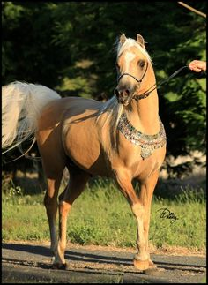 ABLUE MOON RISING (AU) 2006 13.2hh Palomino Part Welsh, 64% Arabian Pony. SK Shakla Khan (imp USA) {Sanadik El Shaklan x Sun King Raindrop by Hilglor Rainmaker} x Kim-Dande Stormgirl {Cherrington Sir Jason x Echo of Love by Amaranda Whakatane} Bred and owned by Dee and Nicola Kelly, Ablue Moon Arabian Ponies and Galloways, Victoria, Australia. **Zing is unshown due to the scarring he suffered as a result of his broken nose and jaw** [Photo by Ablue Moon Images] Broken Nose, Moon Images, Horse Pictures, Palomino, Dressage, Arabian Horses, Victoria Australia, History, Ponies
