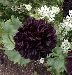 Black+Peony+Poppy+Papaver+Somniferum+Paeoniflorum+-+50+Seeds