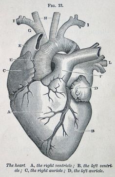 I love anatomical hearts