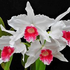 Cattleya purpurata f. Rare Flowers, Flowers Nature, Exotic Flowers, Tropical Flowers, Amazing Flowers, Beautiful Flowers, Flower Images, Flower Pictures, Orchid Varieties