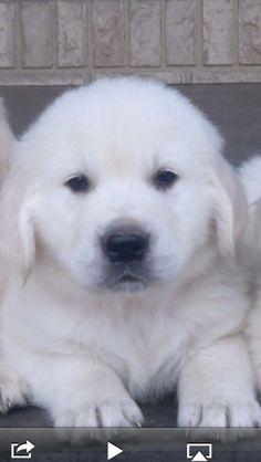 My Golden Retriever Puppy