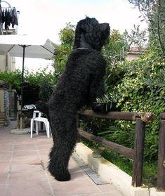 Tchiorny terrier (Terrier nero russo)-228786_2.jpg 1'620×1'920 Pixel