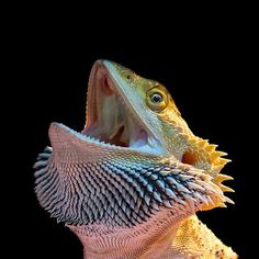 35 best dragons images in 2013 bearded dragon reptiles - Bearded dragon yawn ...