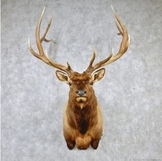 Rocky Mountain Elk Shoulder Taxidermy Head Mount For Sale @ The Taxidermy Store Elk Head, Taxidermy For Sale, Decimal, Rocky Mountains, Antlers, Deer, Moose Art, Hunting, Wildlife
