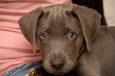 Weimeraner + Labrador = Labmaraner I NEED THIS!!!
