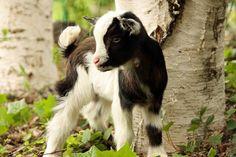 Nigerian Dwarf Goat..I want one!!