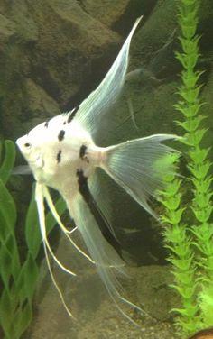 Platinum marble angelfish