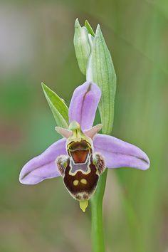 Bee-Orchid: Ophrys x minuticauda