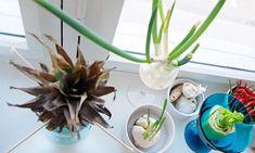 3 grønnsaker du kan re-dyrke i vinduskarmen Flowers, Plants, Gardens, First Grade, Outdoor Gardens, Plant, Royal Icing Flowers, Flower, Florals