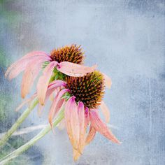 Echinacea. Medicinal Flower. Blossoms. Nature. by OneFrameStories