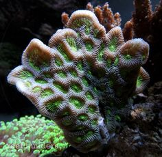 Cool Coral- Favites Complanata