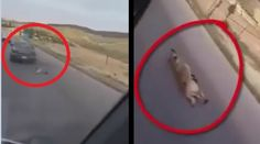 A motorist, who tied a dog behind his car and dragged on the Amman-Irbid Highwayis in Jordan facing animal cruelty charges. The suspect was arrested h...