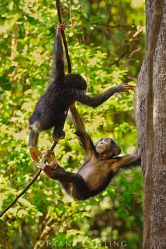 Young chimpanzees playing on vine, Pan troglodytes verus, Fongoli, Senegal