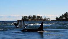 Orca pod - Photo by Simon Pidcock