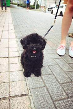 My cute black poodle puppy~ Darky<3