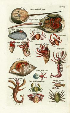 Jonston Fish Prints, Shell Prints, Crab Prints, Lobster Prints, Jellyfish Prints, Sea Prints 1767