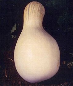 I could draw a ghost face on this one for Halloween and then roast and freeze for baking.  Heirloom Seeds - Vegetable Seeds and Plants, Pumpkin, Cushaw White