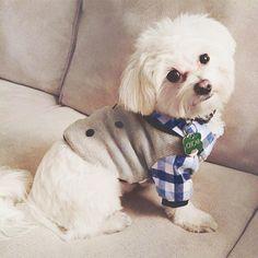 Introducing a maltese friend named Oscar @oscarmaltese! Isn't he a little gentleman? ・・・ Preppy dog vest available here: www.unitedpups.com/cp ・・・ #dogsinclothes #cutepetclub #maltese
