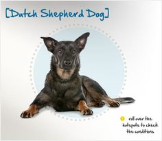 Did you know the Dutch Shepherd was developed in the 1800s in the southern part of the Netherlands? Read more about this breed by visiting Petplan pet insurance's Condition Checker!