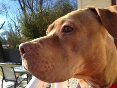 Adopted!  Hi I am Rosie.  Rescue Ridge rescued me from the shelter, you see I am a 'throw-away Mom', but I am so much more than that!  Despite what I have been through I love everyone, humans, dogs and my friends think even cats.I have a beautiful tan, soft...