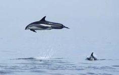 Atlantic white sided dolphin