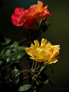 Beautiful rose flower wallpaper 768x1024