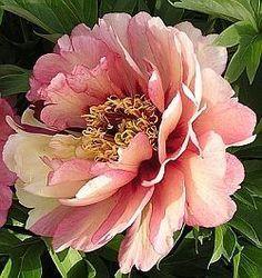 Itoh Peonies Hillary, Peony Farm, Wa, Itoh Peonies For Sale Peony Flower, Flower Art, Tree Peony, Cactus Flower, Amazing Flowers, Beautiful Flowers, Exotic Flowers, Peonies For Sale, Flor Tattoo