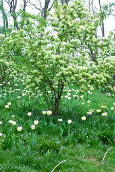 Viburnum macrocephalum and Tulipa 'Akebona' in Chanticleer's Bulb Meadow.