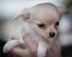 Effective Potty Training Chihuahua Consistency Is Key Ideas. Brilliant Potty Training Chihuahua Consistency Is Key Ideas. Cute Chihuahua, Chihuahua Puppies, Cute Puppies, Cute Dogs, Chihuahuas, Awesome Dogs, Teacup Chihuahua, Baby Animals, Cute Animals