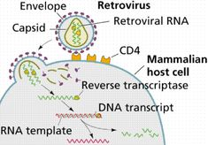 Retroviruses have the ability to replicate in a host cell through reverse transcriptions.