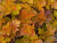 Smällspirea, _Physocarpus opulifolius_, 'Amber Jubilee' har fantastiska färger! Foto: Bailey Nurseries Inc/Splendor Plant
