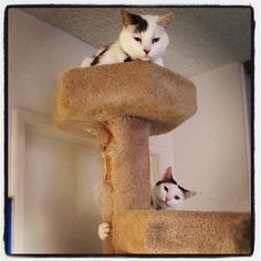Time to play king of the cat tree. #cat #cats #catpics #disabledcats #tabby   @ Casa de Kasey http://t.co/nBY4N2cd