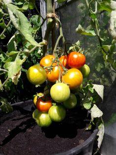 Fasters UrteHave: Tomater, solbær og fugleunger