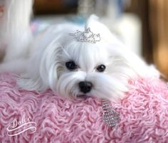 ok.... I just can't handle this cuteness!  I NEED my very own Maltese <3