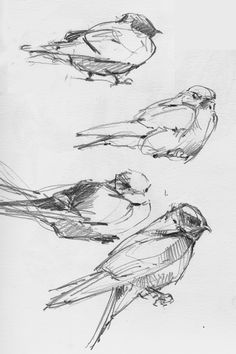 Purple martins, sketched by Debby Kaspari