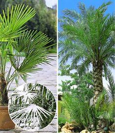 exotische pflanzen fur den garten winterhart, 13 besten winterharte kübelpflanzen bilder auf pinterest, Design ideen
