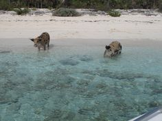 Wild swimming pigs of Pig Island in the Bahamas Pig Island Bahamas, Bahamas Pigs, Nassau Bahamas, Swimming Pigs, Little Critter, Paradise Island, Little Pigs, My Animal, Animal Pictures